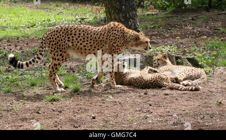 Female African Cheetah (Acinonyx jubatus) with two of her cubs - Stock Photo
