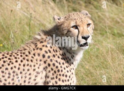 Male Cheetah (Acinonyx jubatus) close-up of upper body and head, snarling. - Stock Photo