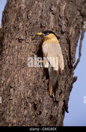 Brahminy Myna or Brahminy Starling, Sturnus pagodarum, at nest hole on tree, Keoladeo Ghana National Park,India - Stock Photo