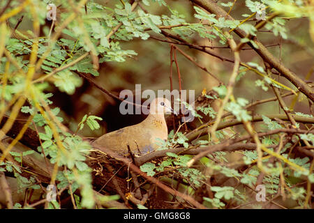 Laughing Dove, sometimes called Little Brown dove, Streptopelia senegalensis, adult on nest, Bharatpur, India - Stock Photo
