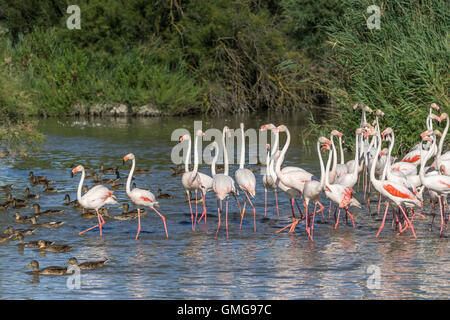 American  Flamingos, (Phoenicopterus ruber),  Parc Ornithologique du Pont de Gau, Camargue, France , Europe - Stock Photo