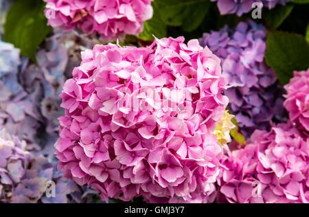 Closeup of pink hydrangea (Hydrangea macrophylla) in a garden. - Stock Photo