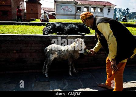 a saint (sadhu) feeding a lamb in Pashupatinath, Kathmandu - Stock Photo