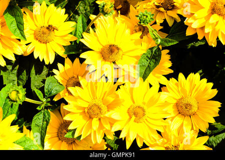 Bunch of bright yellow Heliopsis helianthoides cultivar (rough oxeye, smooth oxeye or false sunflower) seen from - Stock Photo