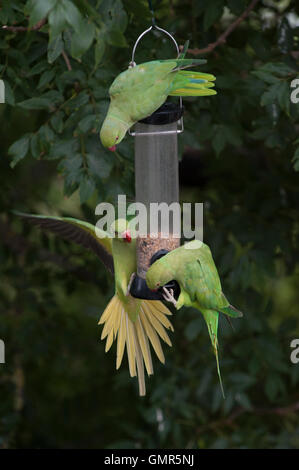 Ring-necked Parakeets, (Psittacula krameri), on garden bird feeders, London, United Kingdom - Stock Photo