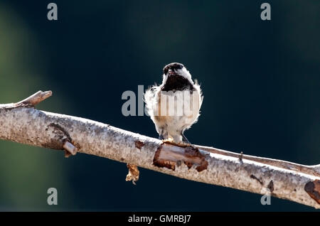 Curious black capped chickadee perched on birch branch - Stock Photo