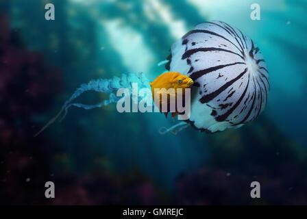 Garibaldi damselfish, Hypsypops rubicundus.In association with Chrysaora colorata Jellyfish. - Stock Photo