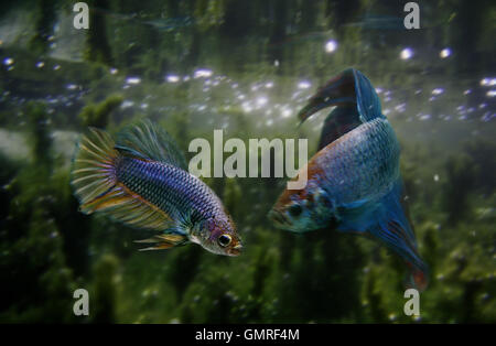 Siamese fighting fish, Betta splendens. Couple courtship, male at right. Portugal - Stock Photo