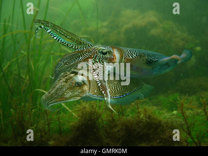 Common cuttlefish or European common cuttlefish, Sepia officinalis. Courtship. - Stock Photo