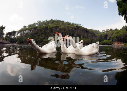 Domestic goose, Anser anser domesticus or Anser cygnoides. Emden Goose in aggressive posture at Lagoa Azul, Portugal - Stock Photo