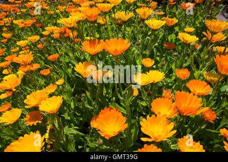 Ringelblume, Garten-Ringelblume, Calendula officinalis, pot marigold, ruddles, common marigold, garden marigold, - Stock Photo