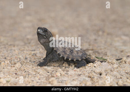 Snapping Turtle Hatchling - Stock Photo