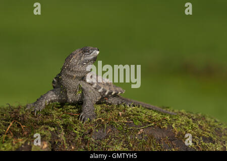 Snapping Turtle Hatchling with egg tooth - Stock Photo