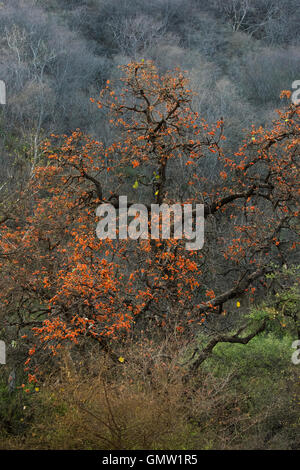 A palash or dhak tree (Butea monosperma) blooming in the summer at Sariska Tiger Reserve, Rajasthan - Stock Photo
