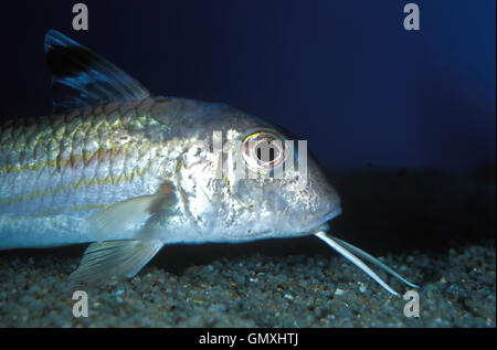 Striped red mullet or surmullet, Mullus surmuletus. Head detail showing barbels. Portugal. - Stock Photo