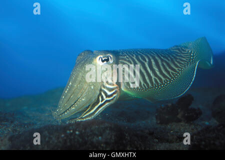 Common cuttlefish, Sepia officinalis. Courtship colours. Portugal - Stock Photo