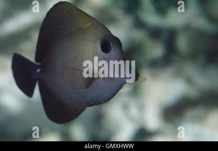 Twotone tang, Zebrasoma scopas. Aquarium. Portugal - Stock Photo