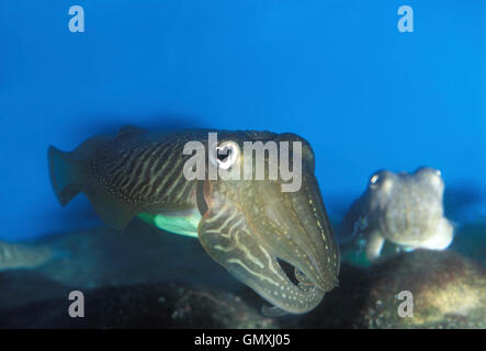 Common cuttlefish, Sepia officinalis. Courtship. Portugal - Stock Photo