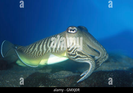 Common cuttlefish, Sepia officinalis. Courtship colors. Portugal - Stock Photo