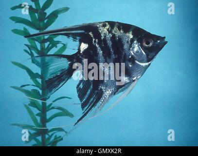 Freshwater angelfish, Pterophyllum scalare. Marble coloration. Aquarium. Portugal. - Stock Photo