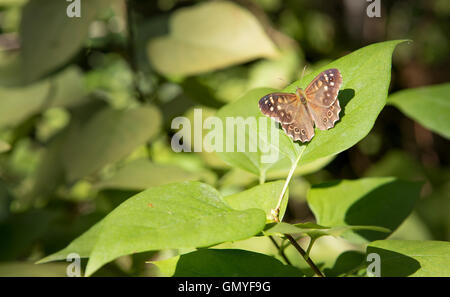 Speckled Wood - Butterfly (Pararge aegeria)  Waldbrettspiel Schmetterling. - Stock Photo