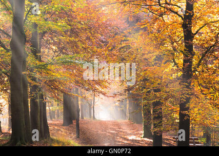 Sun in rays creating sunbeams through the trees with foliage in fall colors and the morning fog on a path in a forest - Stock Photo