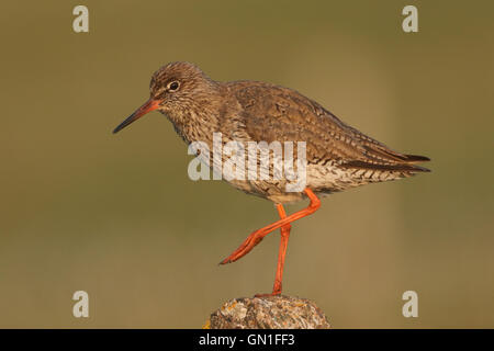 Redshank (Tringa totanus) perched on a post in North Uist, Scotland. - Stock Photo
