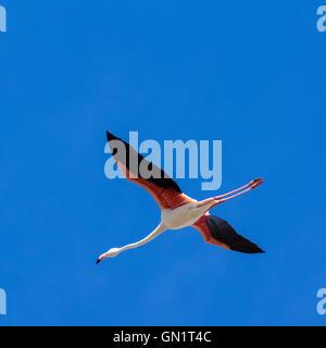 Camargue: pink flamingo in flight near Saintes-Maries-de-la-Mer, France - Stock Photo
