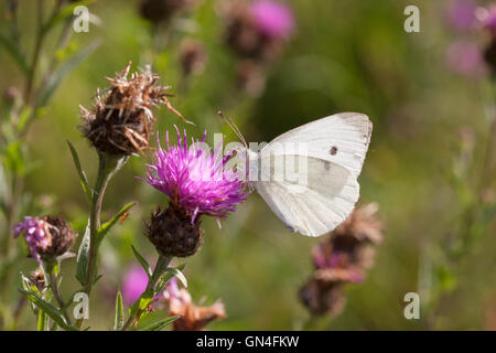 Large White Butterfly Pieris brassicae Single adult feeding on Common Knapweed Essex, UK - Stock Photo