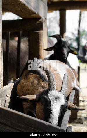 Little brown and white goat in a manger - Stock Photo