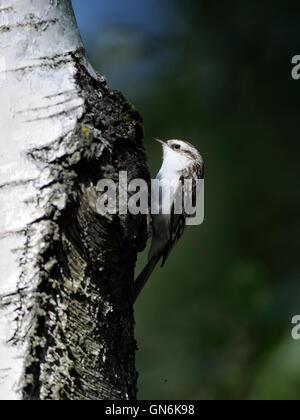 Eurasian or common treecreeper (Certhia familiaris) climbs up the birch trunk. Moscow region, Russia - Stock Photo