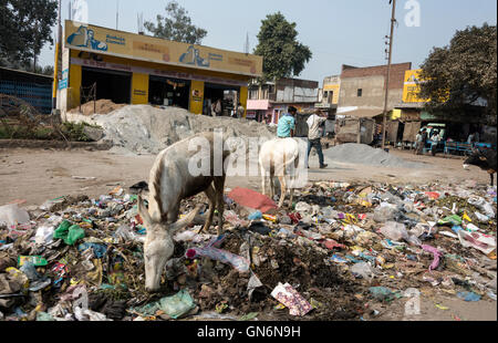 A couple of donkeys scavenging for food on a rotten refuse tip beside the Fatehabad Road,Agra, Uttar Pradesh.India. - Stock Photo