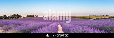 Panorama of lavender field - Stock Photo