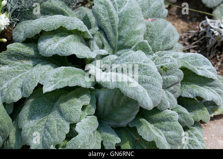 Silver Sage plant (Salvia argentea) 'Hobbits Foot ' - Stock Photo