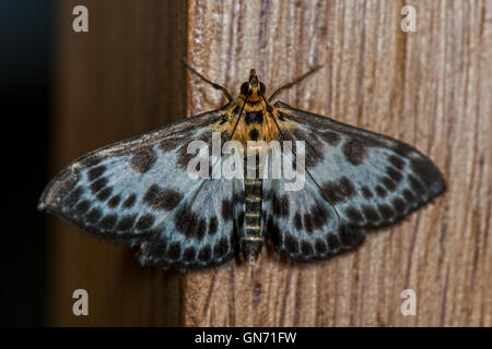 Small Magpie Moth - Anania hortulata,Crambidae Found in Dunstable, Bedfordshire. UK - Stock Photo