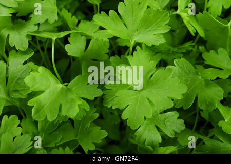 background of fresh green parsley - Stock Photo