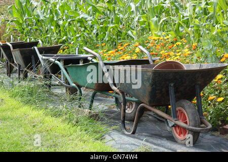Wheelbarrows in an organic walled kitchen garden by sweetcorn and pot marigold (calendula) companion plants used - Stock Photo