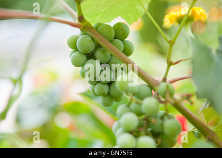 Fox grape (Vitis labrusca) fruits - USA - Stock Photo