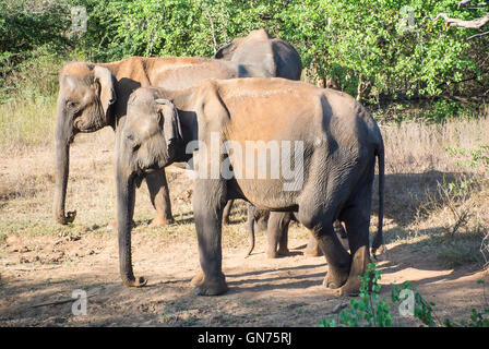 Elephants at the Udawalawe National Park, Sri Lanka - Stock Photo