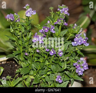 Large cluster of vivid purple Nemesia flowers with white  throats & emerald green leaves on dark background - Stock Photo