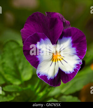 Stunning and unusual vivid purple and white flower of annual viola / pansy with yellow centres on background of - Stock Photo
