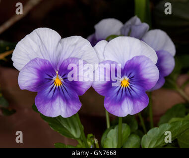 Two stunning and unusual vivid purple and white flowers of annual violas / pansies with yellow centres on dark background - Stock Photo