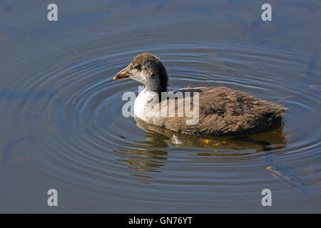 Juvenile or young baby coot Latin name fulica atra swimming in Colfiorito marshes national park in Italy by Ruth - Stock Photo