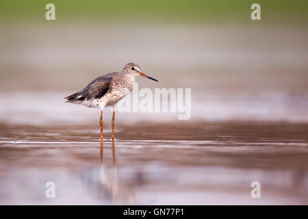 Common redshank (Tringa totanus) hunting for food in shallow water. This bird is found throughout Europe and northern - Stock Photo