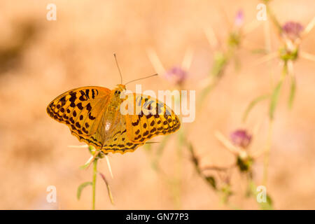 Cardinal butterfly (Argynnis pandora). This butterfly is common throughout southern Europe and is also found in - Stock Photo