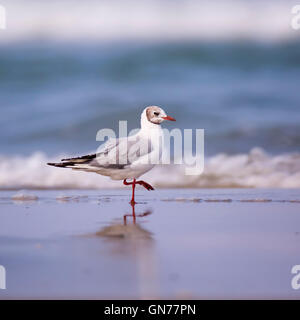 Mediterranean gull (Ichthyaetus melanocephalus and in the past Larus melanocephalus) Also known as Black-headed - Stock Photo