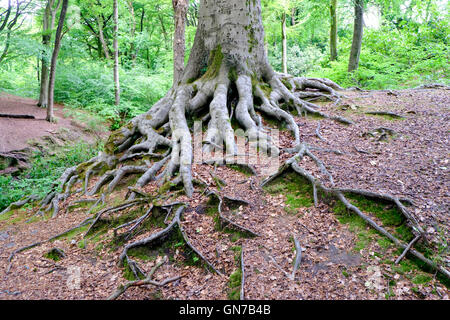 Tree roots in Smithills Hall gardens, Bolton, UK - Stock Photo
