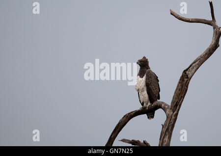 Martial Eagle (Polemaetus bellicosus) on a tree in Kruger National Park, South Africa - Stock Photo