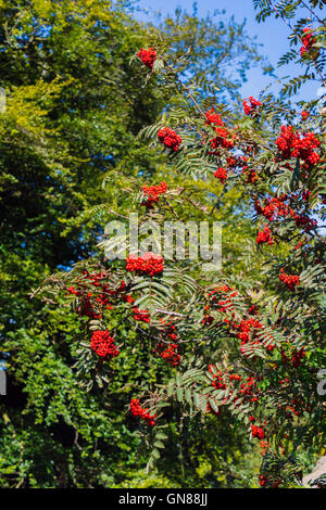 Red Rowan (mountain ash) (Sorbus aucuparia) berry cluster, Derbyshire England, - Stock Photo