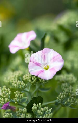 Convolvulus arvensis. Bindweed flower in the garden. - Stock Photo